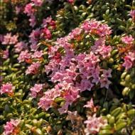 Фото цветки брусники